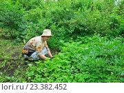 Купить «Пожилая женщина садовод рвёт руками густую траву на садовом участке», фото № 23382452, снято 27 июня 2016 г. (c) Максим Мицун / Фотобанк Лори