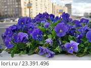 Купить «Москва, клумба с анютиными глазками на Садовой-Каретной улице», эксклюзивное фото № 23391496, снято 13 июня 2016 г. (c) Dmitry29 / Фотобанк Лори