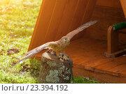 Купить «Пустельга - Falco tinnunculus - хищная птица отряда соколиных, сидящая с расправленными крыльями и греющаяся под солнцем», фото № 23394192, снято 12 августа 2016 г. (c) Зезелина Марина / Фотобанк Лори