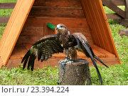 Купить «Коршун чёрный (Milvus migrans), сидящий на пеньке и расправляющий крылья», фото № 23394224, снято 12 августа 2016 г. (c) Зезелина Марина / Фотобанк Лори