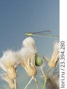 Стрекоза семейства Стрелки  (лат. Coenagrionidae) на осоте полевом (Cirsium arvense) Стоковое фото, фотограф Наталья Гармашева / Фотобанк Лори