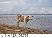 Купить «Теленок на водопое», фото № 23406736, снято 16 августа 2016 г. (c) Vladimir Gnevashev / Фотобанк Лори