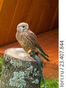 Купить «Пустельга - Falco tinnunculus - хищная птица отряда соколиных, сидящая с поджатой лапкой», фото № 23407844, снято 12 августа 2016 г. (c) Зезелина Марина / Фотобанк Лори