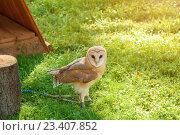 Купить «Обыкновенная сипуха - Tyto Alba - в неволе», фото № 23407852, снято 12 августа 2016 г. (c) Зезелина Марина / Фотобанк Лори