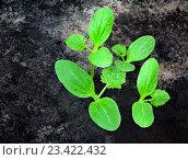 Купить «Зеленые ростки растут из почвы», фото № 23422432, снято 22 июня 2016 г. (c) Elena Molodavkina / Фотобанк Лори