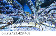 Купить «Омары в большом аквариуме», видеоролик № 23428408, снято 22 октября 2014 г. (c) Elnur / Фотобанк Лори