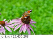 Купить «Бабочка павлиний глаз (Inachis io) на соцветии эхинацеи пурпурной (Echinacea purpurea)», фото № 23430208, снято 11 августа 2016 г. (c) Алина Сбитнева / Фотобанк Лори