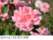 Купить «Розовые розы в саду», фото № 23431940, снято 19 июля 2016 г. (c) Ирина Носова / Фотобанк Лори