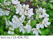 Купить «Ветка яблони с белыми цветами», фото № 23434752, снято 22 мая 2016 г. (c) Максим Мицун / Фотобанк Лори