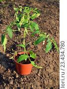 Купить «Растение томат в горшке на земле солнечным днём», фото № 23434780, снято 22 мая 2016 г. (c) Максим Мицун / Фотобанк Лори