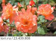 Купить «Оранжевые розы на клумбе», фото № 23439808, снято 25 июля 2016 г. (c) Ирина Носова / Фотобанк Лори