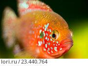 Fish cichlids. Рыбка цихлид. Стоковое фото, фотограф Николай Беляков / Фотобанк Лори