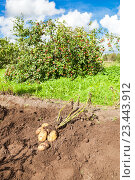 First harvest of organically grown new potatoes in summer sunny day, фото № 23443912, снято 17 августа 2016 г. (c) FotograFF / Фотобанк Лори