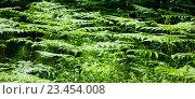 Купить «Natural background. Leaves of fern in the forest», фото № 23454008, снято 3 июня 2016 г. (c) Татьяна Белова / Фотобанк Лори