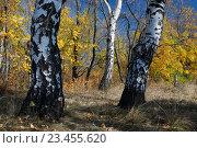 Купить «Береза. Осень. Дерево», фото № 23455620, снято 17 февраля 2019 г. (c) Дмитрий Третьяков / Фотобанк Лори