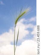 Ковыль на фоне неба. Стоковое фото, фотограф Константин Пекарь / Фотобанк Лори