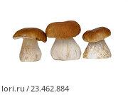Купить «Белые грибы или боровики (лат. Boletus edulis) на белом фоне», фото № 23462884, снято 28 августа 2016 г. (c) Елена Коромыслова / Фотобанк Лори
