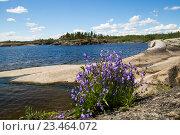 Цветы колокольчики на камнях ладожского озера, фото № 23464072, снято 10 июля 2016 г. (c) Сергей Александров / Фотобанк Лори