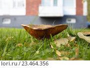Гриб горькушка на газоне перед домом. Стоковое фото, фотограф Дмитрий Наумов / Фотобанк Лори