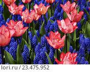 Розовые тюльпаны и мускари крупным планом. Стоковое фото, фотограф Сергей Прокопенко / Фотобанк Лори