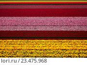 Поле тюльпанов. Стоковое фото, фотограф Сергей Прокопенко / Фотобанк Лори