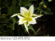 Редкий зеленый тюльпан. Стоковое фото, фотограф Сергей Прокопенко / Фотобанк Лори
