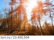 Купить «Осенний лесной пейзаж в лучах закатного вечернего света», фото № 23490504, снято 5 мая 2016 г. (c) Зезелина Марина / Фотобанк Лори