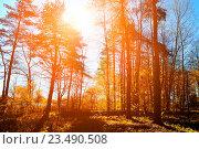 Купить «Осенний пейзаж - вечерний лес в лучах закатного солнца», фото № 23490508, снято 5 мая 2016 г. (c) Зезелина Марина / Фотобанк Лори