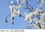Купить «Серёжки ольхи зимой», эксклюзивное фото № 23494436, снято 24 января 2016 г. (c) Елена Коромыслова / Фотобанк Лори