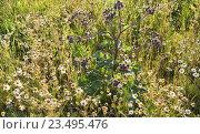 Лопух большой (Arctium lappa) и  ромашка аптечная (Matricaria chamomilla) Стоковое фото, фотограф Алёшина Оксана / Фотобанк Лори
