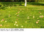 Спелые яблоки на зелёном газоне. Стоковое фото, фотограф Светогор Александр Романович / Фотобанк Лори