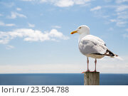 Купить «seagull over sea and blue sky», фото № 23504788, снято 25 июня 2016 г. (c) Syda Productions / Фотобанк Лори