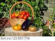Купить «Урожай овощей на дачном участке», эксклюзивное фото № 23507716, снято 28 августа 2016 г. (c) Елена Коромыслова / Фотобанк Лори