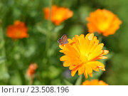 Маленькая бабочка на цветке календулы. Стоковое фото, фотограф Светлана Скрипник / Фотобанк Лори