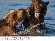 Дикие животные - медведь и медведица играют друг с другом в озере на Камчатке (2016 год). Редакционное фото, фотограф Николай Винокуров / Фотобанк Лори