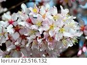 Купить «Вишня гибридная, цветы крупным планом», фото № 23516132, снято 9 апреля 2016 г. (c) Сергей Трофименко / Фотобанк Лори