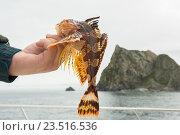 Купить «Бычок в руке. Морская рыбалка в Тихом океане вблизи Камчатки.», фото № 23516536, снято 28 августа 2016 г. (c) Юлия Машкова / Фотобанк Лори