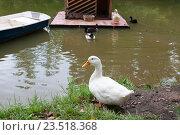 Купить «Белая гусыня перед прудом», фото № 23518368, снято 15 августа 2016 г. (c) Катерина Белякина / Фотобанк Лори