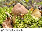 Купить «Поганка в лесу», фото № 23518596, снято 10 сентября 2016 г. (c) Parmenov Pavel / Фотобанк Лори