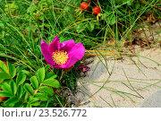 Шиповник (лат. Rosa) на песчаной дюне. Стоковое фото, фотограф Сергей Трофименко / Фотобанк Лори