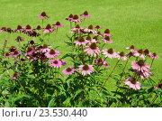 Купить «Эхинацея пурпурная (лат. Echinacea purpurea)», фото № 23530440, снято 1 сентября 2016 г. (c) Елена Коромыслова / Фотобанк Лори