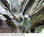 Купить «Трясогузка белая. White Wagtail (Motacilla alba).», фото № 23533972, снято 6 июня 2015 г. (c) Василий Вишневский / Фотобанк Лори