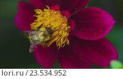 Купить «Bumblebee on dahlia flower», видеоролик № 23534952, снято 18 июля 2019 г. (c) Игорь Жоров / Фотобанк Лори