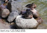 Дикие утки, сидящие на камнях. Стоковое фото, фотограф Ирина Горбачева / Фотобанк Лори