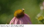 Купить «Bumblebee on a Echinacea flower», видеоролик № 23542852, снято 10 сентября 2016 г. (c) Игорь Жоров / Фотобанк Лори