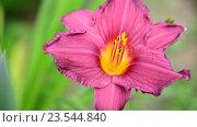 Купить «Розовая лилия на клумбе в саду крупным планом», видеоролик № 23544840, снято 12 июля 2016 г. (c) Володина Ольга / Фотобанк Лори