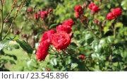 Купить «blossoming roses plant», видеоролик № 23545896, снято 13 мая 2016 г. (c) Яков Филимонов / Фотобанк Лори