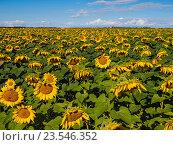 Подсолнухи на поле. Стоковое фото, фотограф Игорь Ворончихин / Фотобанк Лори