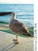 Чайка на фоне моря. Стоковое фото, фотограф Наталья Саратова / Фотобанк Лори