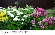 Купить «Фрагмент сада с белыми гортензиями и лилиями», видеоролик № 23548324, снято 8 июля 2016 г. (c) Володина Ольга / Фотобанк Лори